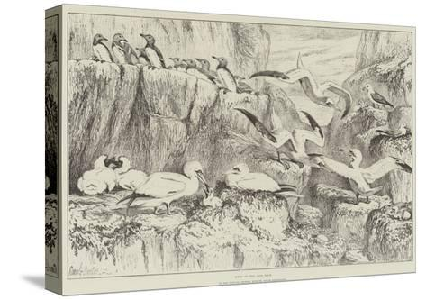 Birds on the Bass Rock, in the Natural History Museum, South Kensington-Samuel John Carter-Stretched Canvas Print