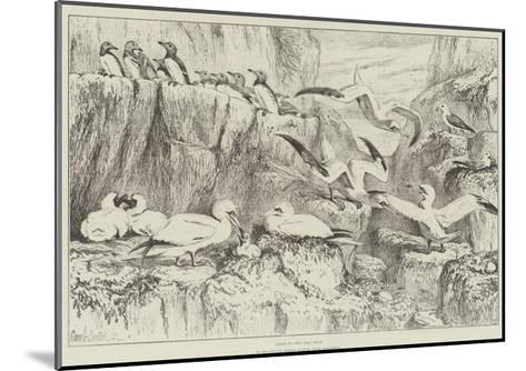 Birds on the Bass Rock, in the Natural History Museum, South Kensington-Samuel John Carter-Mounted Giclee Print