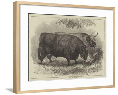 Prize Oxen at the Smithfield Club Cattle Show-Samuel John Carter-Framed Art Print