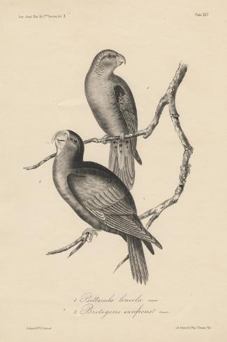 1. Psittacula Lineola and 2. Brotogeris Aurifrons, Litho by J.T. Bowen, 1850-William E. Hitchcock-Stretched Canvas Print