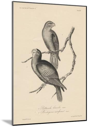 1. Psittacula Lineola and 2. Brotogeris Aurifrons, Litho by J.T. Bowen, 1850-William E. Hitchcock-Mounted Giclee Print
