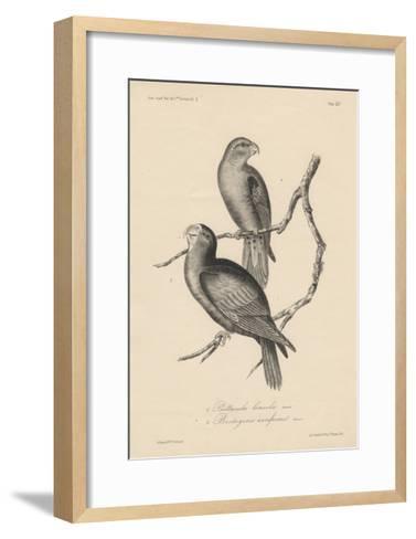 1. Psittacula Lineola and 2. Brotogeris Aurifrons, Litho by J.T. Bowen, 1850-William E. Hitchcock-Framed Art Print