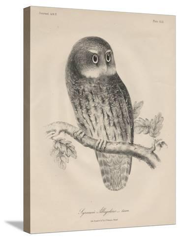 Syrnium Albogularis, 1850-William E. Hitchcock-Stretched Canvas Print