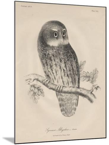 Syrnium Albogularis, 1850-William E. Hitchcock-Mounted Giclee Print