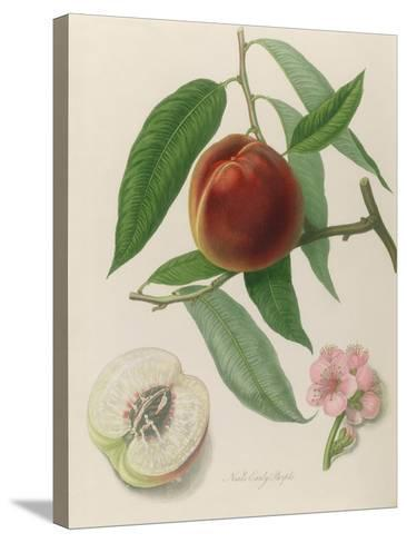 Nectarine: Neals Early Purple-William Hooker-Stretched Canvas Print