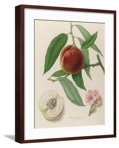 Nectarine: Neals Early Purple-William Hooker-Framed Art Print