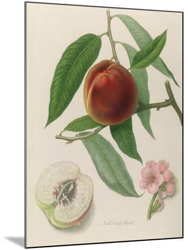 Nectarine: Neals Early Purple-William Hooker-Mounted Giclee Print