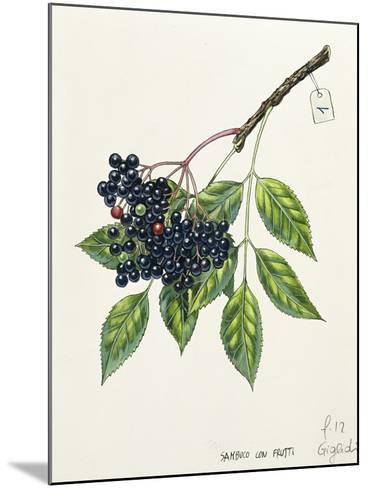Adoxaceae--Mounted Giclee Print