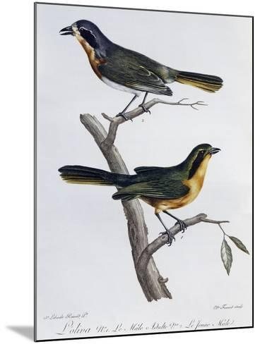Adult Male and Young of Olive Bushshrike (Telophorus Olivaceus)--Mounted Giclee Print