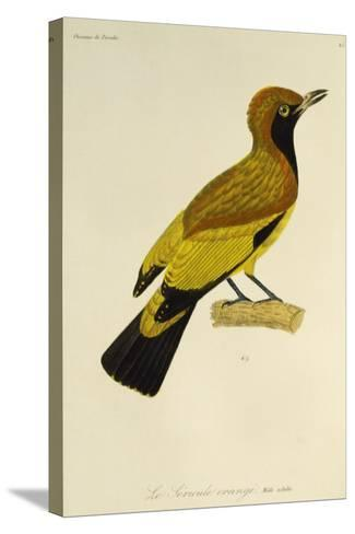 Adult Male of Masked Bowerbird (Sericulus Aureus)--Stretched Canvas Print