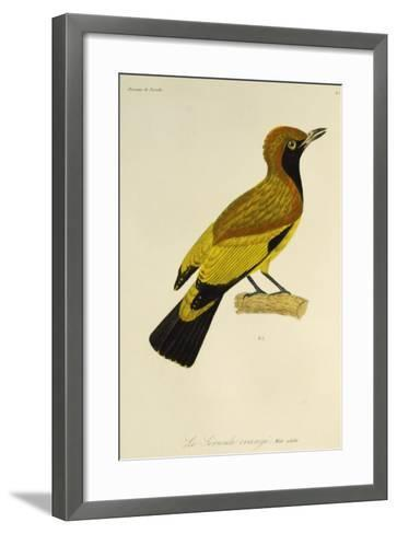 Adult Male of Masked Bowerbird (Sericulus Aureus)--Framed Art Print