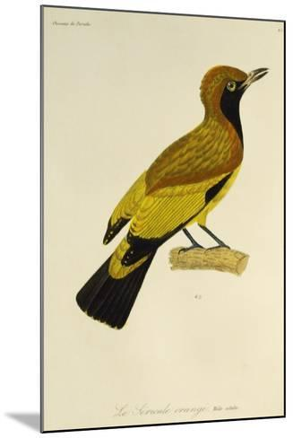 Adult Male of Masked Bowerbird (Sericulus Aureus)--Mounted Giclee Print