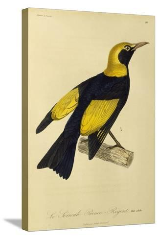 Adult Male of Regent Bowerbird (Sericulus Chrysocephalus)--Stretched Canvas Print