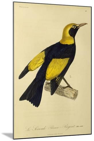 Adult Male of Regent Bowerbird (Sericulus Chrysocephalus)--Mounted Giclee Print