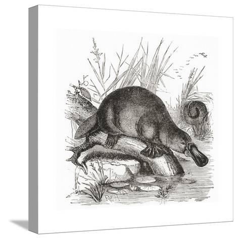 A Duckbilled Platypus--Stretched Canvas Print