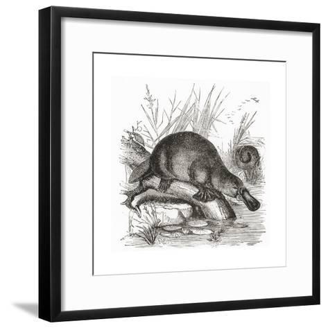 A Duckbilled Platypus--Framed Art Print
