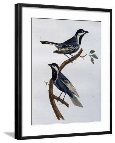 Ashy Tit (Parus Cinerascens)--Framed Art Print