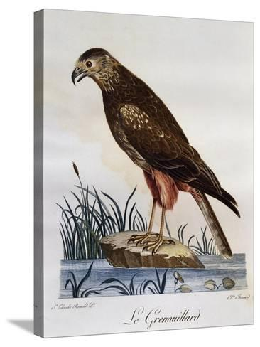 African Marsh Harrier (Circus Ranivorus)--Stretched Canvas Print