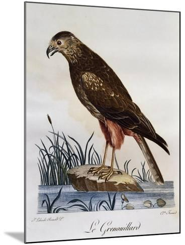 African Marsh Harrier (Circus Ranivorus)--Mounted Giclee Print