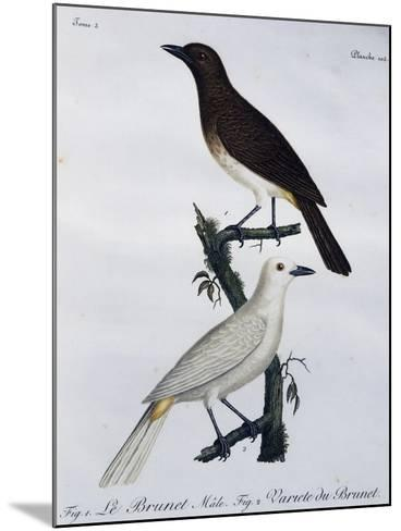 African Red-Eyed Bulbul (Pycnonotus Nigricans)--Mounted Giclee Print