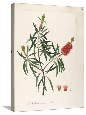 Albany Bottlebrush (Callistemon Speciosum Dc)--Stretched Canvas Print