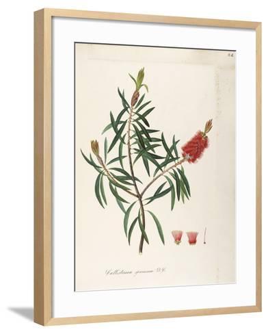 Albany Bottlebrush (Callistemon Speciosum Dc)--Framed Art Print