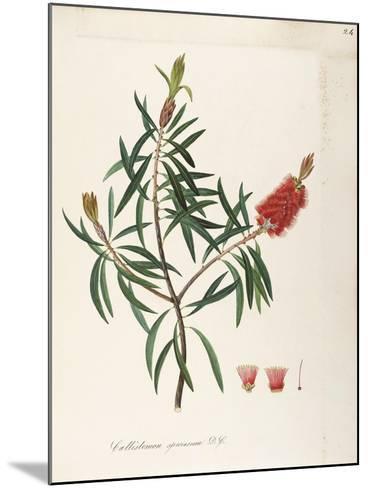Albany Bottlebrush (Callistemon Speciosum Dc)--Mounted Giclee Print