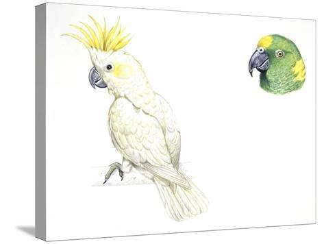 Birds: Psittaciformes--Stretched Canvas Print