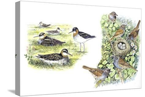 Birds: Red-Necked Phalarope (Charadriiformes--Stretched Canvas Print