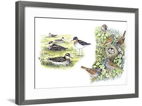 Birds: Red-Necked Phalarope (Charadriiformes--Framed Art Print