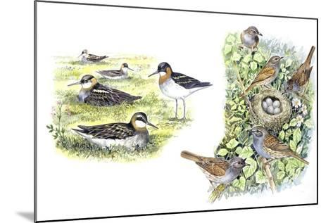 Birds: Red-Necked Phalarope (Charadriiformes--Mounted Giclee Print
