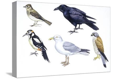 Birds: Skylark (Passeriformes--Stretched Canvas Print
