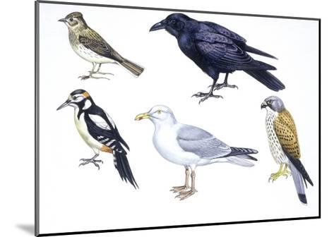 Birds: Skylark (Passeriformes--Mounted Giclee Print