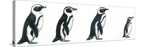 Birds: Sphenisciformes--Stretched Canvas Print