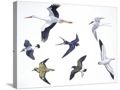 Birds: White Stork (Ciconiiformes--Stretched Canvas Print