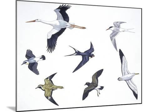 Birds: White Stork (Ciconiiformes--Mounted Giclee Print