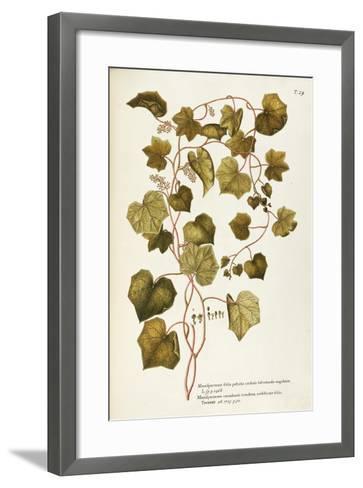 Canada Moonseed or Common Moonseed (Menispermum Canadense)--Framed Art Print