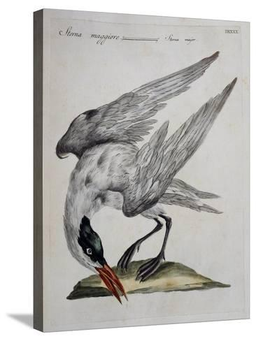 Caspian Tern (Sterna Major)--Stretched Canvas Print