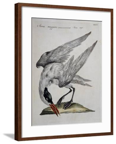 Caspian Tern (Sterna Major)--Framed Art Print