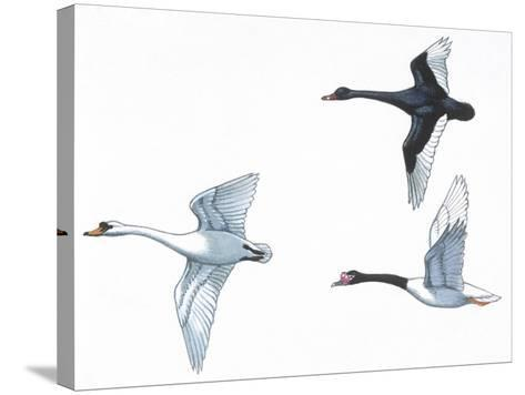 Birds: Anseriformes--Stretched Canvas Print