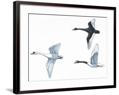 Birds: Anseriformes--Framed Art Print