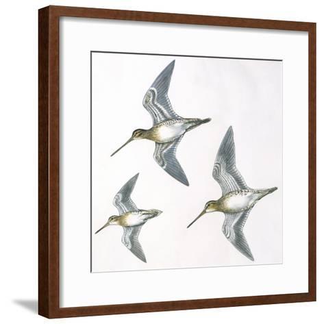 Birds: Charadriiformes--Framed Art Print