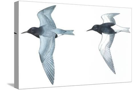 Birds: Charadriiformes: Black Tern--Stretched Canvas Print