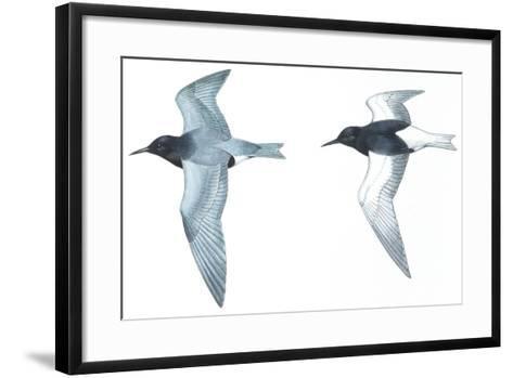 Birds: Charadriiformes: Black Tern--Framed Art Print