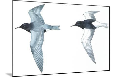 Birds: Charadriiformes: Black Tern--Mounted Giclee Print