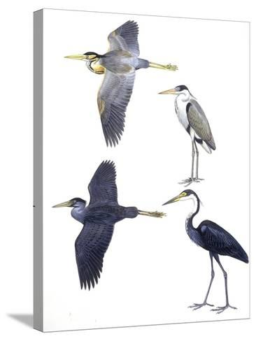 Birds: Ciconiiformes--Stretched Canvas Print