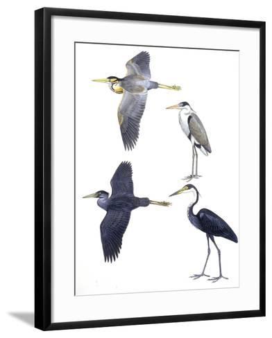 Birds: Ciconiiformes--Framed Art Print