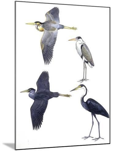Birds: Ciconiiformes--Mounted Giclee Print