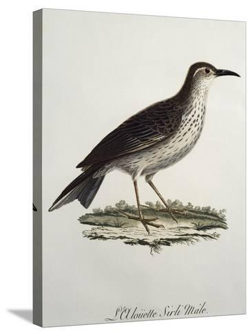 Cape Longbill Male (Certhilauda Curvirostris)--Stretched Canvas Print