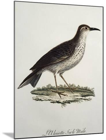 Cape Longbill Male (Certhilauda Curvirostris)--Mounted Giclee Print